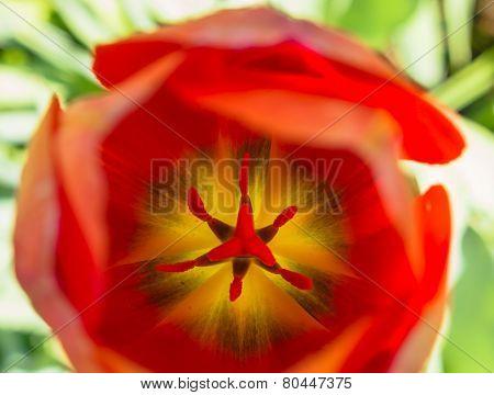 Look inside an orange tulip