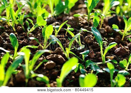 Green choysum in growth at vegetable garden poster