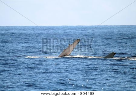 Whale lying on the side poster