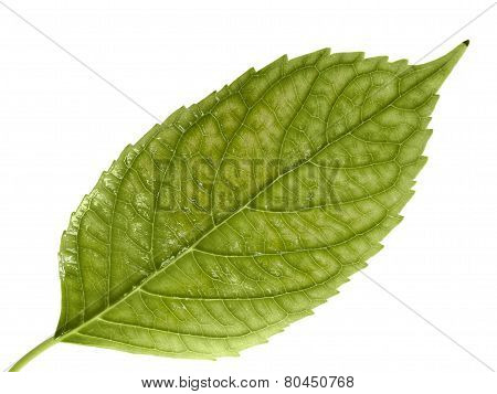 Green Leaf. Isolated On A White