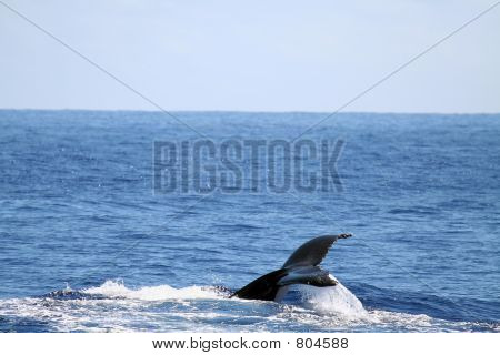 powerful whale tail swimming poster