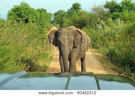 Elephant Blocking the Road