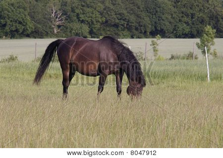 Brown horse grazing