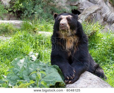Spetacled bear
