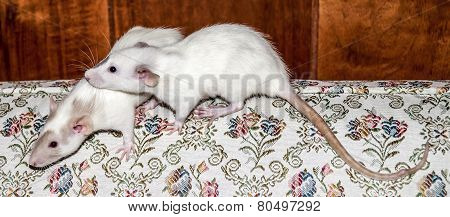 Two white rats on a couch