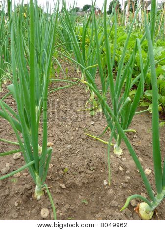 Onions growing in the Garden