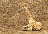 Giraffe or Giraffa camelopardalis is resting on the ground Safari world Thailand. poster