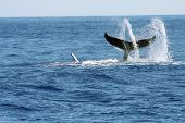 swirling whale tail with water spray poster