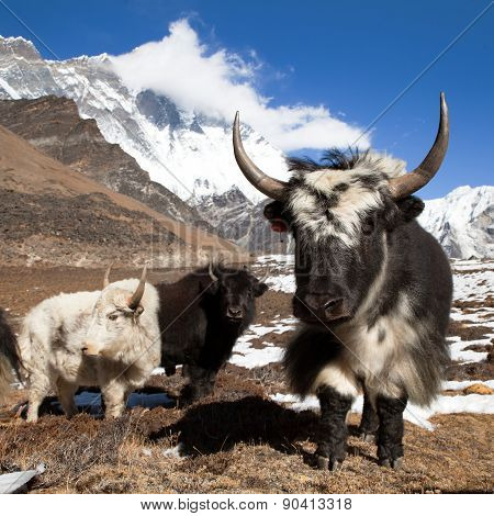 Yaks On The Way To Everest Base Camp And Mount Lhotse