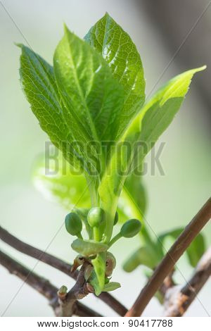 Schisandra - Young Buds And Leaves
