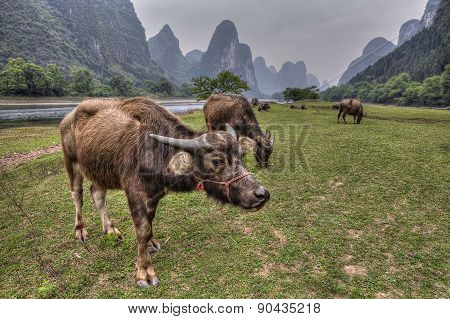 Cows Grazing On Pasture Near Li River And Karst Hills.