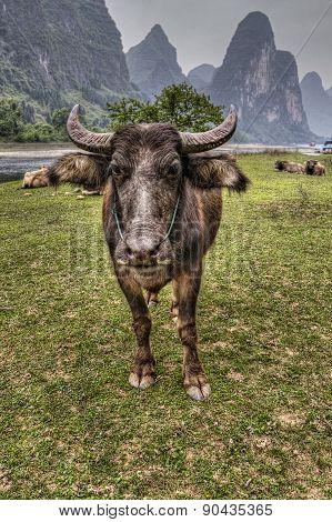Herd Of Cattle Grazing On Pasture Li River, Guangxi, China.