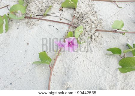Ipomoea with beautiful flowers on the beach
