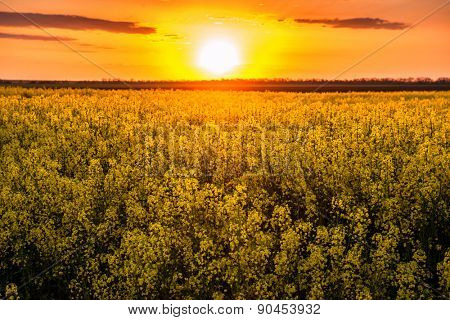 sunset in yellow rapeseed field, spring landscape