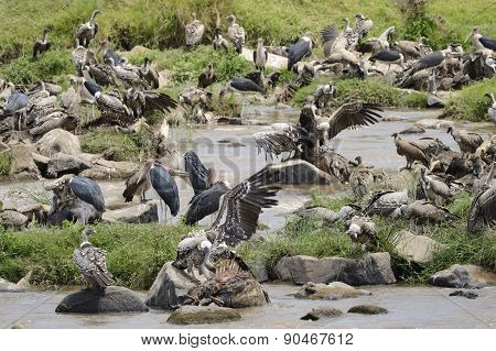 Vultures and Marabu's scavenge