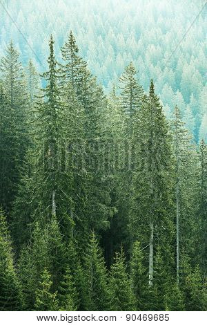 Healthy big green coniferous trees in forest of old spruce fir and pine trees in wilderness area of a national park. Sustainable industry ecosystem and healthy environment concepts. poster