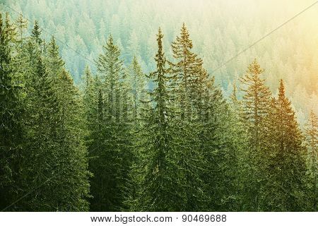 Green Coniferous Forest Lit By Sunlight