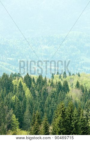 Healthy, Colorful Coniferous And Deciduous Forest