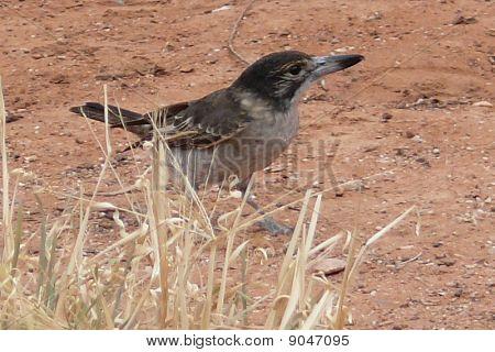 Butcher Bird's next meal