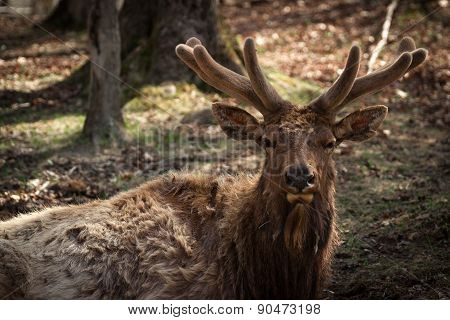 Wapiti ( Elk ) Buck Closeup In Early Spring Velvet