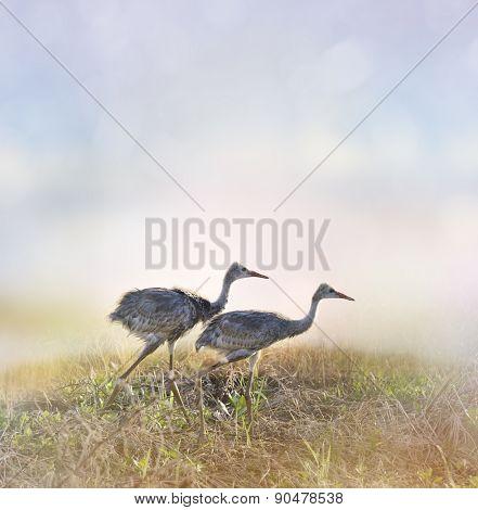 Sandhill Crane Chicks Walking At Sunrise
