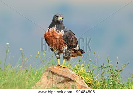 A jackal buzzard (Buteo rufofuscus) perched on a rock, South Africa
