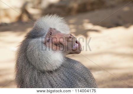 Baboon Look