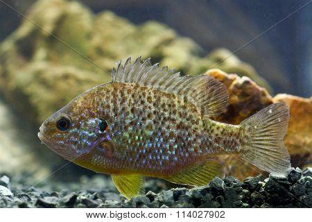 Sunfish, Pumpkinseed, Lepomis Gibbosus