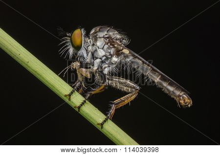 Macro Shot On The Robberfly Stand On The Green Branch.