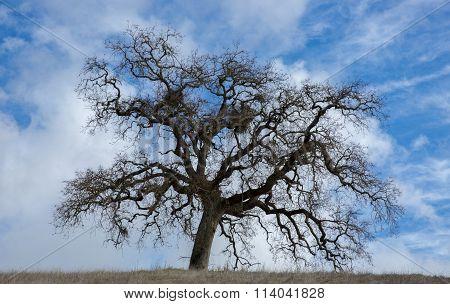 California Oak in Wispy Skies in Northern California
