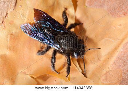 Violet Carpenter Bee (borer Bee) On Bark Rind