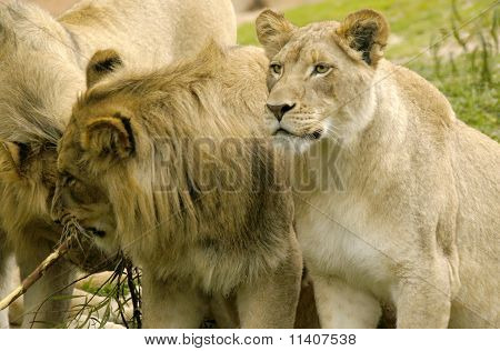Lioness Matriarch