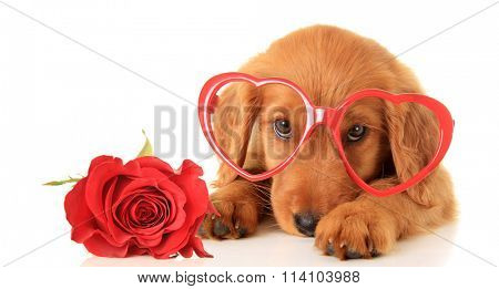 Irish Setter puppy wearing Valentine glasses next to a red rose.