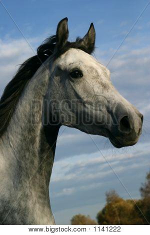 Horse Shagya Arab