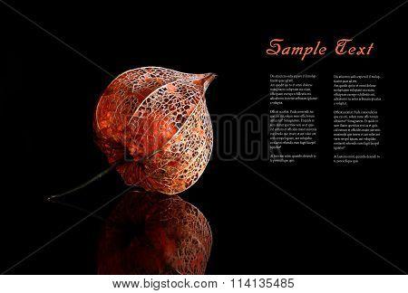 Dry Lampion (alkekengi physalis)