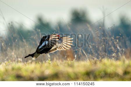 Birkhuhn, Black Grouse (tetrao Tetrix), Blackgame (lyrurus Tetrix). Close Up Portrait Of A Lekking B