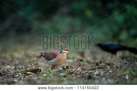 Key West Quail-dove (geotrygon Chrysia) Adult, Standing On Forest Floor