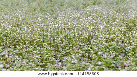 Buckwheat flower fields shimmer in the autumn wind