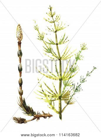 Equisetum drawing watercolor