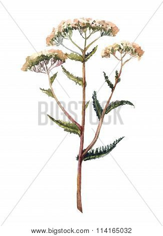 Yarrow watercolor illustration. Hand drawn herb