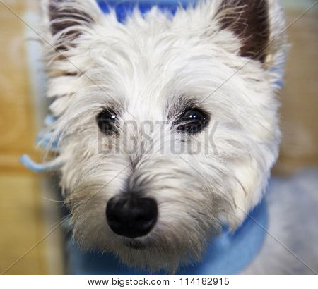 Westie Portait, Strict Close Up