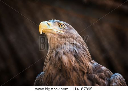 Bird of prey White-tailed Eagle sitting on a tree