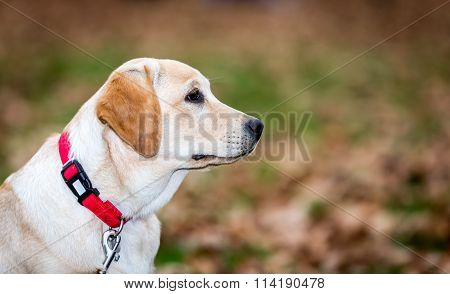 Portrait of a young Labrador Puppy in a park