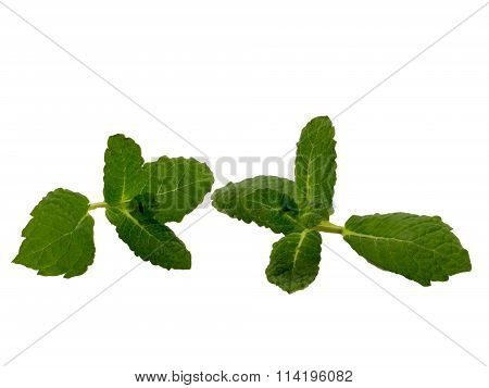 Branches of the peppermint plant isolated