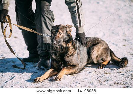 German Shepherd Dog sits near owner during training. Winter season poster