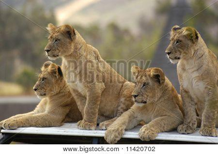 Lion Cub Club