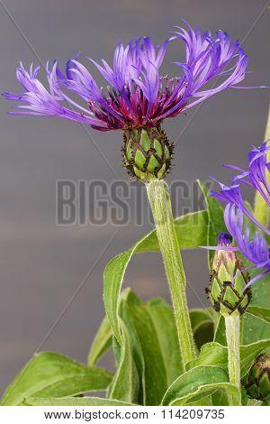 Cornflower (centaurea cyanus) close up against the blue blurred background.