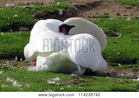 A Swan Sleeping on the bank