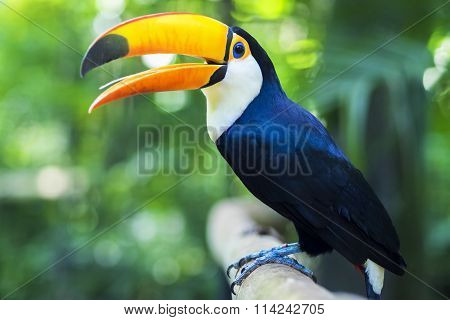 Exotic Toucan Bird In Natural Setting, Foz Do Iguacu, Brazil