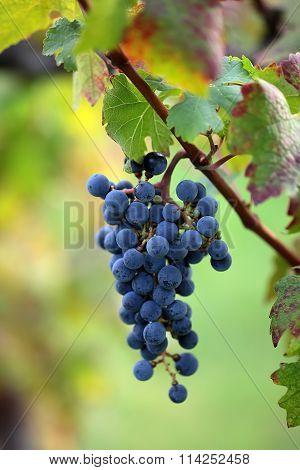 Bunch Of Velvety Black Grapes